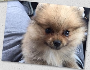 Portia the Pom – 8 Weeks Old