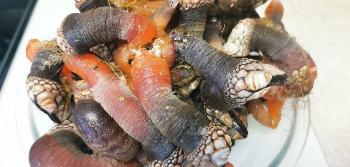 What is this? Weird Food That You May Not Heard Before – Gooseneck Barnacles (Percebes)