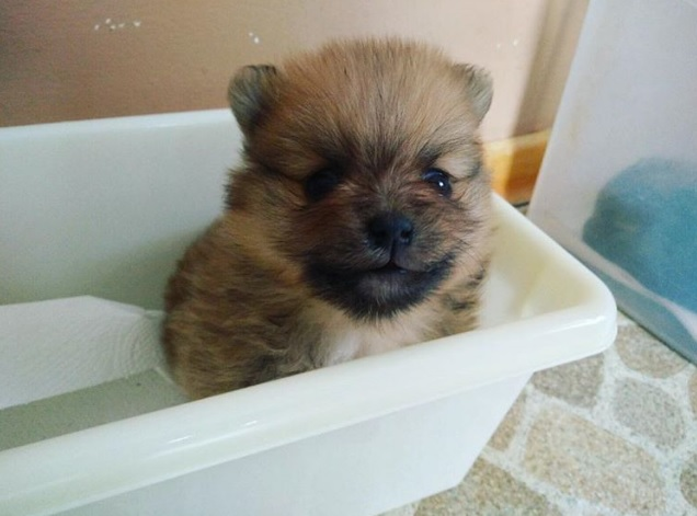 Portia the Pomm - 4 weeks old