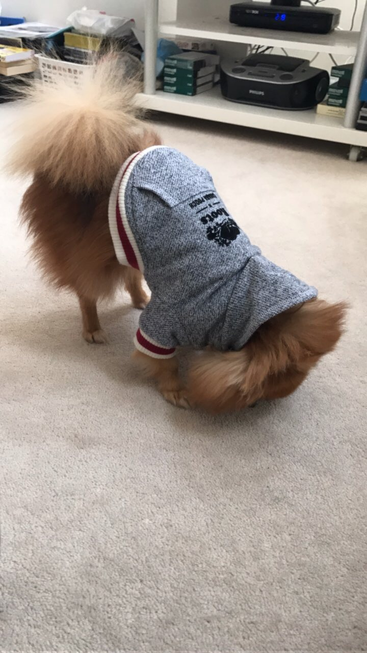 Portia The Pom - MoDoggy