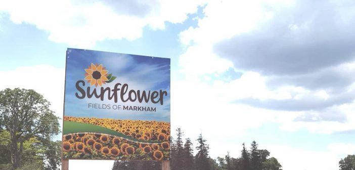 Sunflower Fields of Markham – Markham, Ontario, Canada [ONTARIO TRAVEL SERIES]